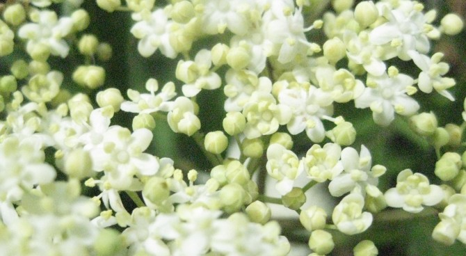 DIY Elderflower Cordial - Babes in the Woods Blog