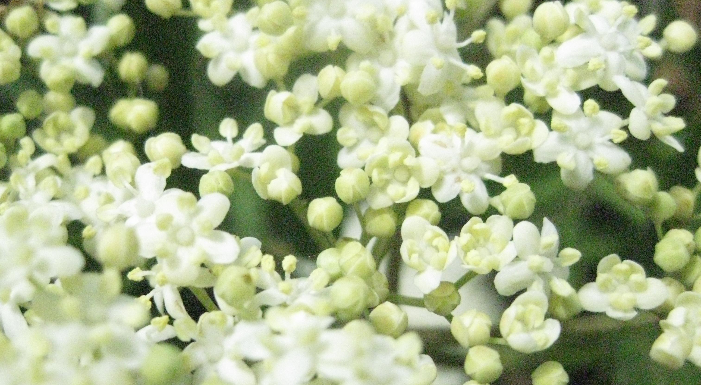DIY Elderflower Cordial - Babes in the Woods Blog
