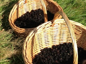 Juicy blackberries for making jam