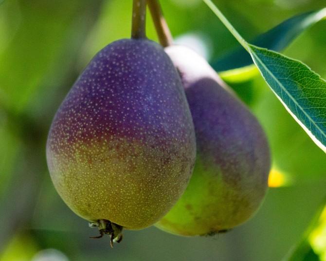 DIY Wild Apple & Pear Crumble